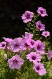 紫色喇叭花花 免版税图库摄影