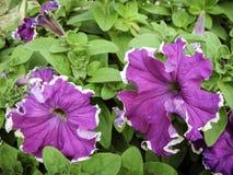 紫色喇叭花绽放在庭院里在冬天 免版税库存照片