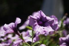 紫色喇叭花 免版税库存照片