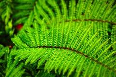 绿色喜悦蕨 免版税库存照片