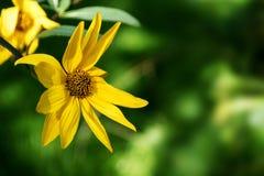 黄色四季不断的向日葵(向日葵)反对模糊的绿色ba 免版税图库摄影