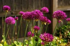 紫色四季不断的绽放 库存照片