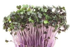 紫色圆白菜新芽  库存照片
