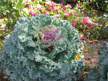 紫色圆白菜花装饰装饰圆白菜花芸苔或无头甘蓝花 库存照片