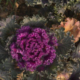 紫色圆白菜花 免版税库存图片