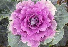 紫色圆白菜 库存图片
