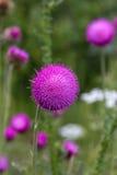 紫色圆的花的家庭在领域的 图库摄影