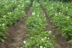 绿色土豆在庭院里增长 免版税库存图片