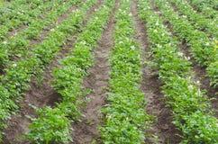 绿色土豆在庭院里增长 库存图片