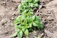 绿色土豆灌木的领域 生长土豆 免版税库存照片