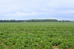 绿色土豆领域 免版税库存图片
