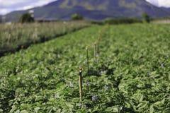 绿色土豆 免版税库存图片