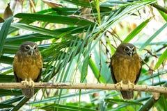 色土鼓起的Boobook (Ninox ochracea)在苏拉威西岛 库存照片