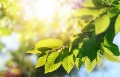 绿色在分支离开与太阳在背景 免版税库存图片