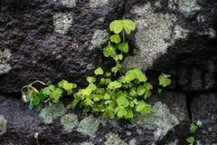 绿色在大岩石墙壁把生长的植物留在豪华的日本人lan 库存照片