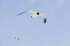 黑色在天空的朝向的鸥飞行 免版税库存图片