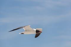 黑色在天空的朝向的鸥飞行 库存图片