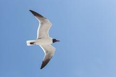 黑色在天空的朝向的鸥飞行 图库摄影