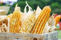 黄色在条板箱的干玉米的耳朵 库存图片