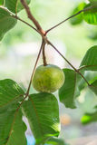 绿色在树的santol楝科泰国果子 库存照片
