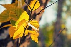 黄色在桦树离开在秋天森林 免版税库存图片