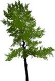 绿色在白色的杉木高树 库存照片