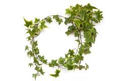 绿色在白色背景的常春藤植物自然圈子框架 免版税库存照片