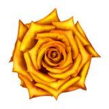 黄色在白色隔绝的玫瑰花 免版税库存照片