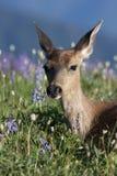 黑色在羽扇豆的被盯梢的鹿 免版税库存图片