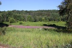 紫色在草甸 免版税库存图片