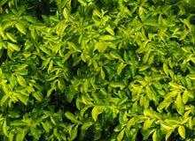 绿色在雨以后离开,生叶,叶子,茎,在庭院里 库存照片