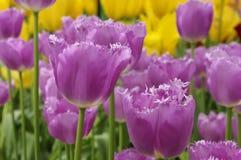 紫色在keukenhof的被装饰的郁金香 免版税库存图片