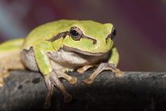 绿色坐的青蛙 免版税库存图片