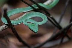 绿色坑蛇蝎 免版税库存照片