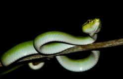 绿色坑蛇蝎 免版税库存图片