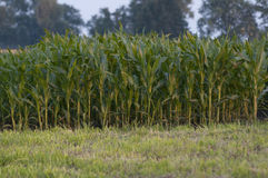 绿色域用玉米 免版税库存照片