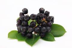 黑色堂梨属灌木 库存图片