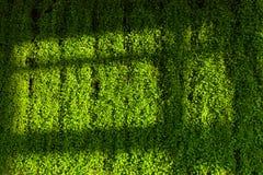 绿色墙壁和阴影树荫 免版税库存照片