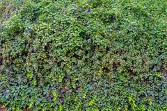 绿色墙壁草 库存图片
