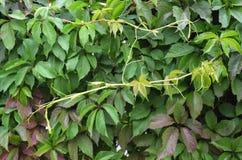 绿色墙壁 爬山虎属植物 免版税库存图片