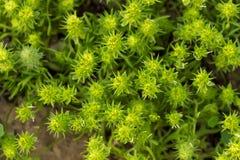 绿色墙纸的干草原多刺的植物 库存图片