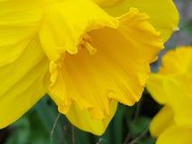 黄色复活节花本质上 免版税库存照片