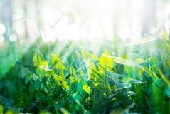 绿色夏天草和晴朗的光芒 免版税库存照片