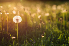 绿色夏天草甸用在日落的蒲公英 背景蓝色云彩调遣草绿色本质天空空白小束 免版税库存图片
