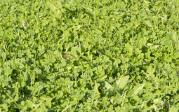 绿色夏天冻结的草地 免版税库存图片