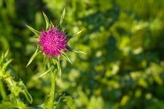 紫色多刺的蓟花 免版税图库摄影