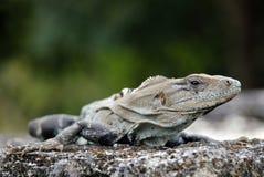 黑色多刺被盯梢的鬣鳞蜥的特写镜头 免版税库存图片