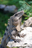 黑色多刺被盯梢的鬣鳞蜥 免版税库存照片