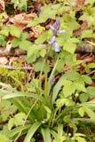紫色多变小冠花 库存照片