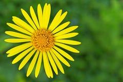黄色多榔菊属植物 免版税库存照片